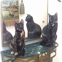 Adopt A Pet :: Sabrina and Sabra - Marion, CT