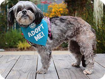 Pekingese/Poodle (Miniature) Mix Dog for adoption in Pacific Grove, California - Bubbles Peek