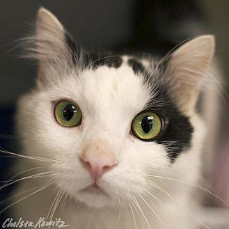 Domestic Mediumhair Cat for adoption in Los Angeles, California - Jax