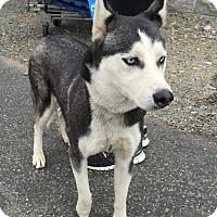 Adopt A Pet :: Nina - Penngrove, CA