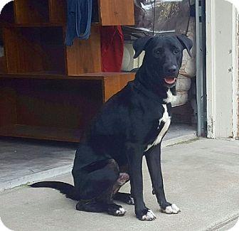 Labrador Retriever Mix Dog for adoption in Austin, Texas - Afortunado