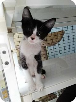 Domestic Shorthair Kitten for adoption in Dickson, Tennessee - Panda