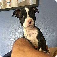 Adopt A Pet :: Growlith - Miami, FL