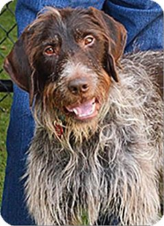 German Wirehaired Pointer Mix Dog for adoption in Incline Village, Nevada - Gus