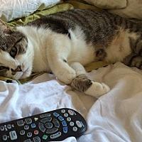 Adopt A Pet :: Kitty Scarlett - New York, NY