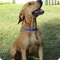 Adopt A Pet :: Benny - Georgetown, TX