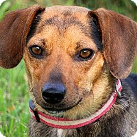 """Dachshund/Beagle Mix Dog for adoption in Wakefield, Rhode Island - SARAH(OUR TINY """"DOXLE""""!!!"""