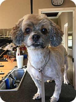 Shih Tzu/Poodle (Miniature) Mix Dog for adoption in Mooresville, North Carolina - Saucy