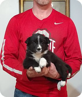 Border Collie/Labrador Retriever Mix Puppy for adoption in Gahanna, Ohio - Maggie