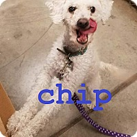 Adopt A Pet :: Chip - Scottsdale, AZ
