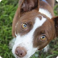 Adopt A Pet :: Capone - Tracy, CA