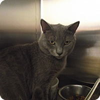 Domestic Shorthair Cat for adoption in Chambersburg, Pennsylvania - Quary