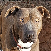 Adopt A Pet :: blue - Gainesville, GA