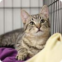 Adopt A Pet :: KR 5 Brown Tabby Girl - Yukon, OK