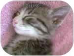 Domestic Shorthair Kitten for adoption in Proctor, Minnesota - Leo