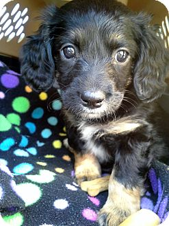 Dachshund/Poodle (Miniature) Mix Puppy for adoption in Homewood, Alabama - Gretchen