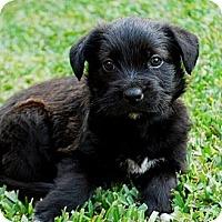 Adopt A Pet :: OSCAR - Torrance, CA