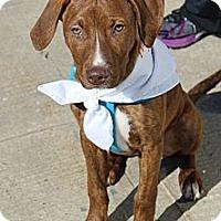 Adopt A Pet :: Gemma - Shrewsbury, NJ