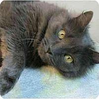 Adopt A Pet :: Blossom - Plainville, MA
