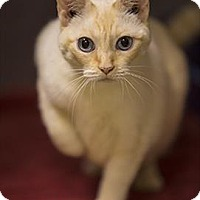 Adopt A Pet :: Vivien Leigh - Riverside, CA