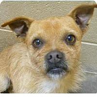 Adopt A Pet :: Champ - Springdale, AR