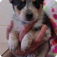 Adopt A Pet :: SAMUEL - Corona, CA