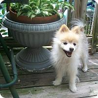 Adopt A Pet :: Max - Bernardston, MA