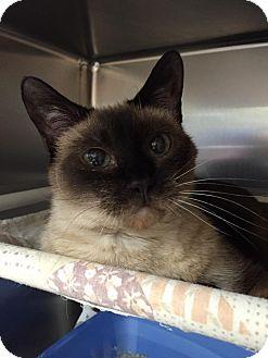 Siamese Cat for adoption in Maryville, Missouri - Precious