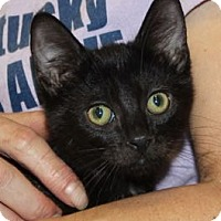Domestic Shorthair Kitten for adoption in Louisville, Kentucky - Wendy