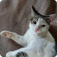 Domestic Shorthair Kitten for adoption in Columbus, Ohio - Shea