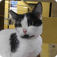 Domestic Shorthair Kitten for adoption in Las Vegas, Nevada - Sansa