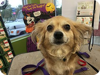 Papillon/Chihuahua Mix Dog for adoption in Joliet, Illinois - Ginger