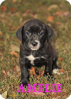 Labrador Retriever Mix Puppy for adoption in Colmar, Pennsylvania - Amelie