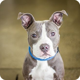 American Pit Bull Terrier Mix Dog for adoption in Berkeley, California - Titus