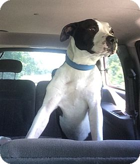 American Staffordshire Terrier Mix Dog for adoption in Smithfield, North Carolina - Moo