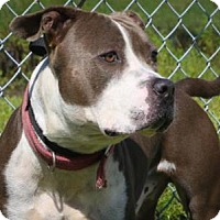 Pit Bull Terrier Dog for adoption in West Palm Beach, Florida - SAMSON