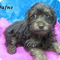 Adopt A Pet :: Dafne - Bartonsville, PA