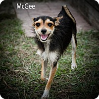 Yorkie, Yorkshire Terrier/Miniature Pinscher Mix Dog for adoption in BROOKSVILLE, Florida - MCGEE