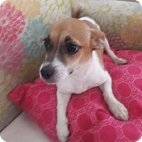 Chihuahua/Terrier (Unknown Type, Medium) Mix Dog for adoption in Royal Palm Beach, Florida - Samantha