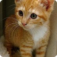 Adopt A Pet :: Archie - Shoreline, WA