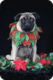 Pug Puppy for adoption in SAN PEDRO, California - Komet