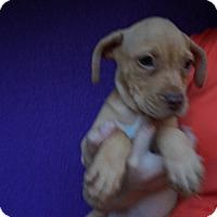 Adopt A Pet :: Bali - Oviedo, FL