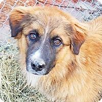 Adopt A Pet :: Chewbacca - Kingston, TN