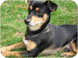 Miniature Pinscher/Cairn Terrier Mix Puppy for adoption in Waukesha, Wisconsin - Mooney