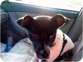Terrier (Unknown Type, Medium) Mix Dog for adoption in Poland, Indiana - Abby