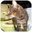 Photo 2 - Bengal Cat for adoption in Colmar, Pennsylvania - Shania