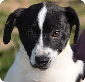 Labrador Retriever Pointer Mix Puppy for adoption in Plainfield    English Pointer Lab Mix Puppy
