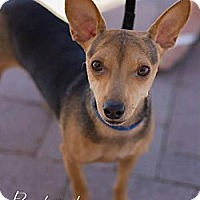 Adopt A Pet :: Petry - Scottsdale, AZ