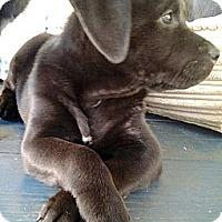 Adopt A Pet :: 'MR. CUDDLES' - Brooksville, FL