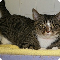 Adopt A Pet :: Tiger Lilly - Dover, OH